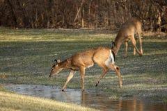 Cervos de Whitetail no campo Imagem de Stock