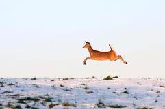 Cervos de Whitetail no funcionamento Fotos de Stock Royalty Free