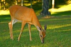 Cervos de Whitetail novos Imagens de Stock
