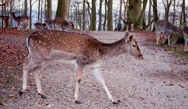 Cervos de Whitetail que andam através da estrada Foto de Stock Royalty Free