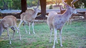 Cervos de Whitetail que comem o milho fora de uma jarda no país do monte de Texas video estoque