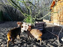 Cervos decorativos pequenos para comer a grama imagem de stock royalty free