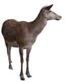 Cervos do animal selvagem Fotografia de Stock Royalty Free