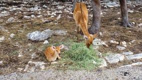 Cervos do bebê com grandes cervos Imagens de Stock