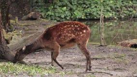 Cervos do bebê na natureza, procurando o alimento video estoque