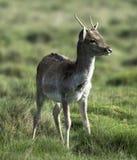 Cervos do bebê que jogam na luz solar do amanhecer Fotografia de Stock Royalty Free