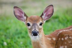 Cervos do bebê que olham fixamente em linha reta fotografia de stock