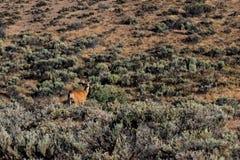 Cervos do deserto de Palouse que estão na escova ao lado de um monte Imagem de Stock