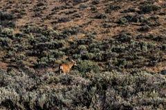 Cervos do deserto de Palouse que estão na escova ao lado de um monte Imagens de Stock