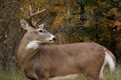 Cervos do fanfarrão da cauda branca imagem de stock
