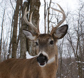 Cervos do fanfarrão do Whitetail Fotografia de Stock Royalty Free