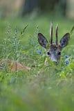 Cervos do fanfarrão em um esclarecimento Imagens de Stock Royalty Free