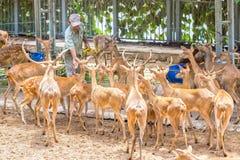 Cervos do instrutor animal a comer Fotografia de Stock