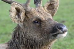 Cervos do pântano de Barasingha Fotos de Stock