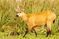 Cervos do pântano (dichotomus de Blastocerus) Imagem de Stock