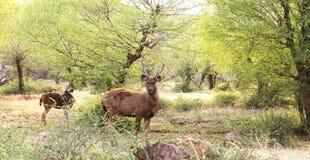 Cervos do Sambar Imagem de Stock
