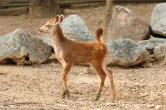 Cervos do Sambar Fotos de Stock Royalty Free
