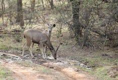 Cervos do Sambar na floresta de Ranthambore Foto de Stock