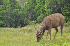 Cervos do Sambar no parque nacional de Khao Yai Fotografia de Stock