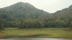 Cervos do Sambar que andam abaixo de uma inclinação para um banco de rio video estoque
