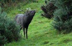 Cervos do veado de Sika Imagem de Stock