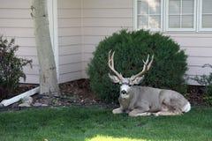Cervos domésticos Fotografia de Stock