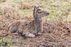 Cervos dos animais selvagens que olham afastado à esquerda imagem de stock royalty free