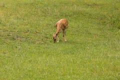 Cervos durante a forragem Imagens de Stock Royalty Free
