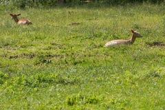Cervos durante o rumination Imagens de Stock