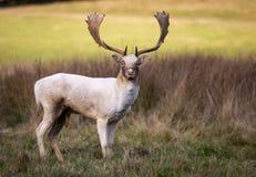 Cervos durante a rotina Foto de Stock Royalty Free