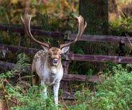 Cervos durante a rotina fotos de stock royalty free