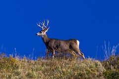 Cervos e céu azul fora de Ridgway, Colorado, o 25 de setembro de 2016 Imagem de Stock Royalty Free