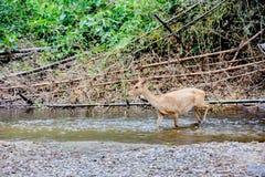 Cervos e hinds que andam através da água à floresta Fotografia de Stock