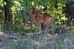 Cervos e jovem corça Imagens de Stock