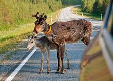 Cervos e jovem corça na estrada Imagens de Stock