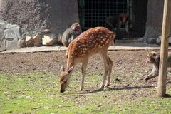 Cervos e macacos Foto de Stock