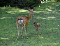 Cervos e Mum de Sika do bebê imagens de stock royalty free
