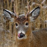 Cervos e neve Imagem de Stock Royalty Free