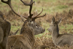 Cervos e veados no parque espesso Foto de Stock
