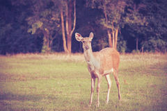 Cervos em animais da floresta do verão no ambiente natural vignette imagens de stock royalty free
