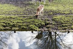Cervos em Den Haag Foto de Stock Royalty Free