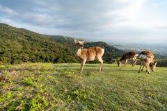 Cervos em Japão em uma montanha imagem de stock royalty free