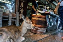 Cervos em Nara, Japão Fotografia de Stock Royalty Free