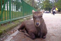 Cervos em Nara Park Imagens de Stock Royalty Free