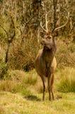 Cervos em planícies de Horton, Sri Lanka do Sambar imagens de stock
