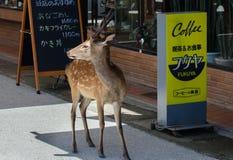Cervos em ruas da ilha de Miyajima jap?o fotos de stock