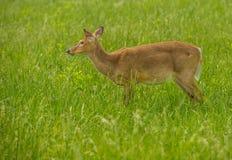 Cervos em um Cade& x27; angra de s Imagens de Stock Royalty Free