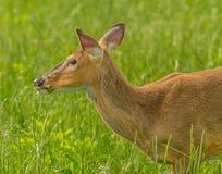 Cervos em um Cade& x27; campo da angra de s Imagens de Stock