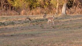 Cervos em um campo vídeos de arquivo