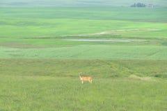 Cervos em um campo do verde do infitine Fotografia de Stock Royalty Free